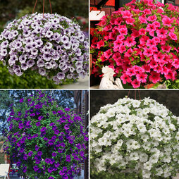 Petunia 'Surfinia' Collection