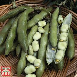 Broad Bean 'The Sutton'