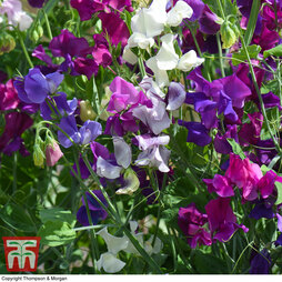 Sweet Pea Mixed Porlock