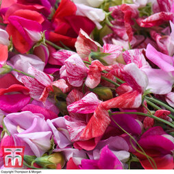 Sweet Pea 'Top to Bottom Pink Mix'