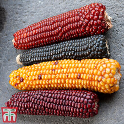 Zea mays 'Baby Fingers Mixed' (Ornamental)