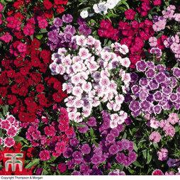 Dianthus barbatus 'Indian Carpet Mixed'