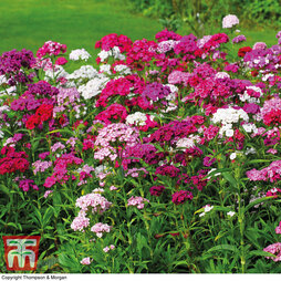Sweet William 'Mixed'