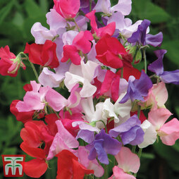 Sweet Pea 'Early Mammoth Mixed'