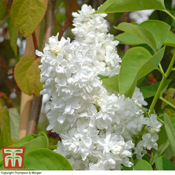 Lilac 'Madame Lemoine'