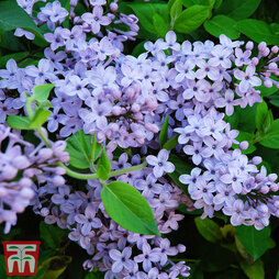 Lilac 'President Lincoln'