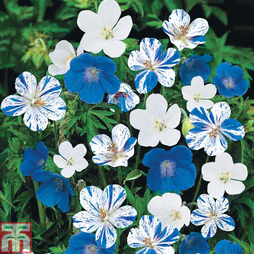 Geranium 'Hardy Blues Collection'