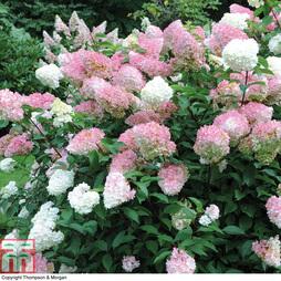 Hydrangea 'Vanilla Fraise'