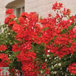 Geranium 'Balcon Red'