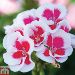 Geranium 'Flower Fairy White Splash'