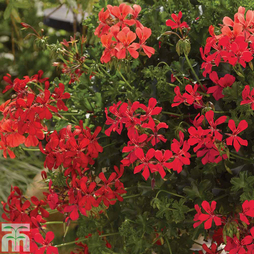Geranium 'Decora Red'
