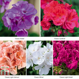 Geranium 'Zonal Collection'