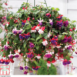 Fuchsia Trailing Pre-Planted Basket/ Pot