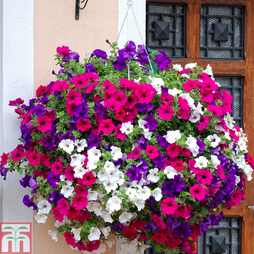 Petunia 'Trailing Surfinia Mixed' (Pre-planted Basket)