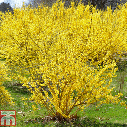Forsythia x intermedia 'Lynwood Variety'