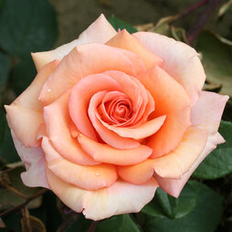 Rose 'Warm Wishes' (Hybrid Tea Rose)