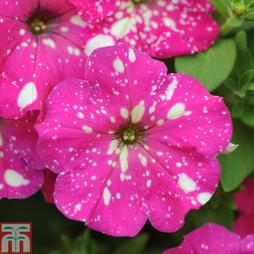 Petunia 'Pink Sky'