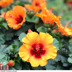 HibisQs® 'Petit™ Orange'