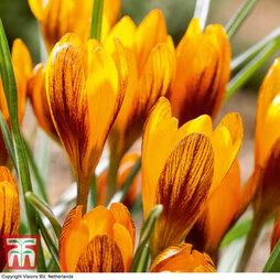 Crocus olivieri subsp. balansae 'Orange Monarch'