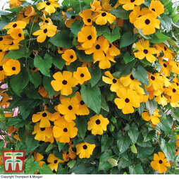 Thunbergia alata 'Golden Eyes'