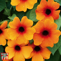 Thunbergia alata 'Sunny Susy Red-Orange'