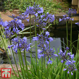 Agapanthus 'Tom Thumb'
