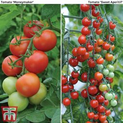 Tomato Duo Collection