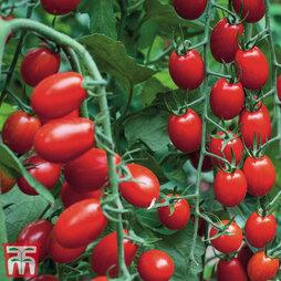 Tomato Grafted 'Aviditas'