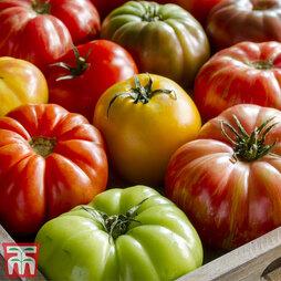 Tomato Beefsteak Collection