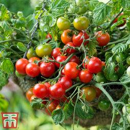 Tomato 'Tumbling Bella'