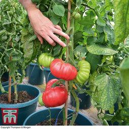 Tomato 'Crimson Blush' (Grafted)