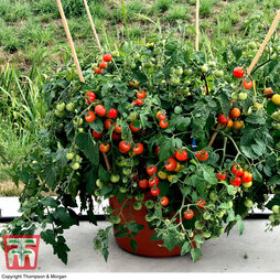 Tomato (Bush) 'Baby Boomer'