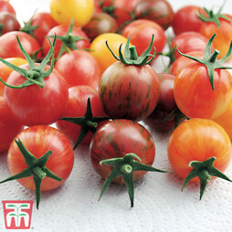 Tomato Bumble Bee Collection