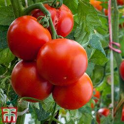 Tomato 'Crimson Crush' (Grafted)
