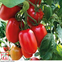 Tomato 'Crimson Plum' (Grafted)