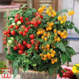 Tomato 'Sweet Sturdy'