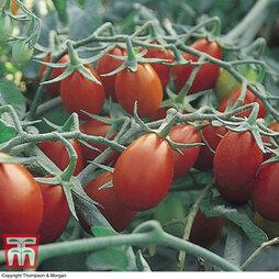 Tomato 'Ship Saint'