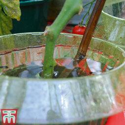 Tomato Auto-Waterer