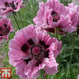 Poppy 'Manhattan'