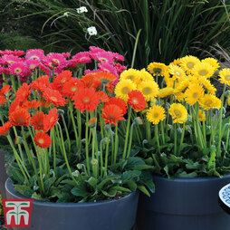 Gerbera Garvinea® Collection (Sweet Series)