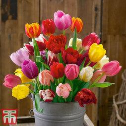 Tulip 'Triumph Mixed'