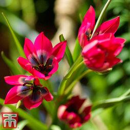 Tulip 'Little Beauty'
