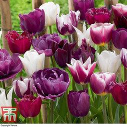 Tulip 'Purple Passion Blend'