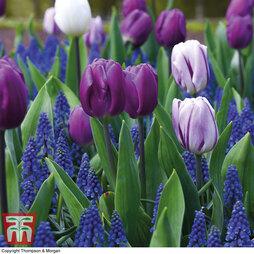 Tulip and Muscari 'Purple Rain Mix'