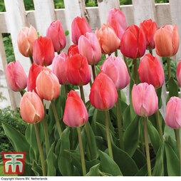 Tulip 'Salmon van Eijk'