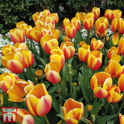 Tulip 'World Peace'