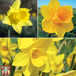 Narcissus 'Cornish Continuity Collection'