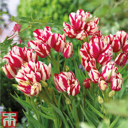 Tulip 'Flaming Club'
