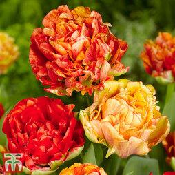 Tulip 'Gudoshnik Double'