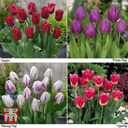 Tulip Patio Mix